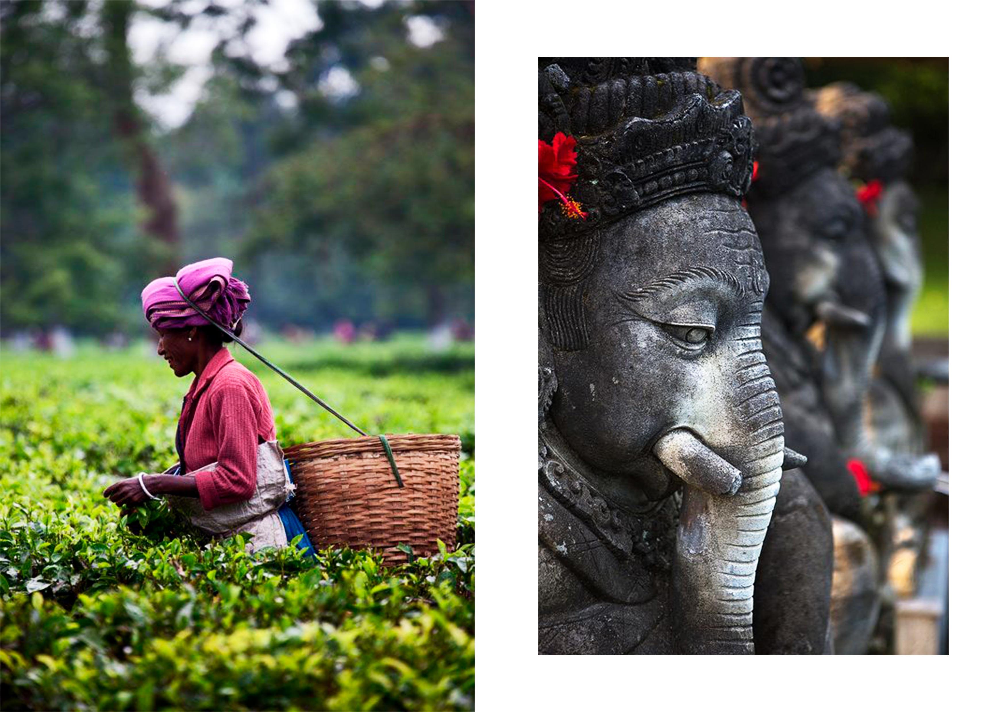 tea plantations in Assam